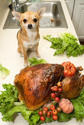 Dog and Thanksgiving Turkey