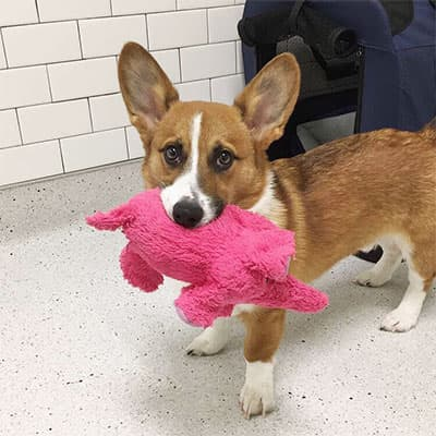 Corgi holding a toy