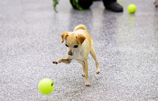 Little dog playing with a tennis ball