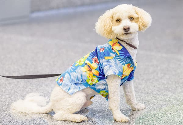 Groomed dog wearing a Hawaiian shirt