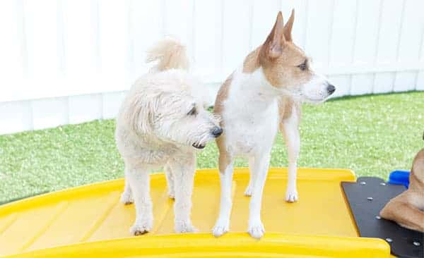 2 Dogs playing at Paw Commons Gilbert location