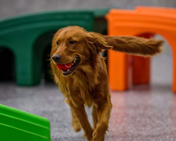 Dog running in the playroom